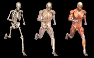 Курсове по анатомия и физиология на човешкото тяло